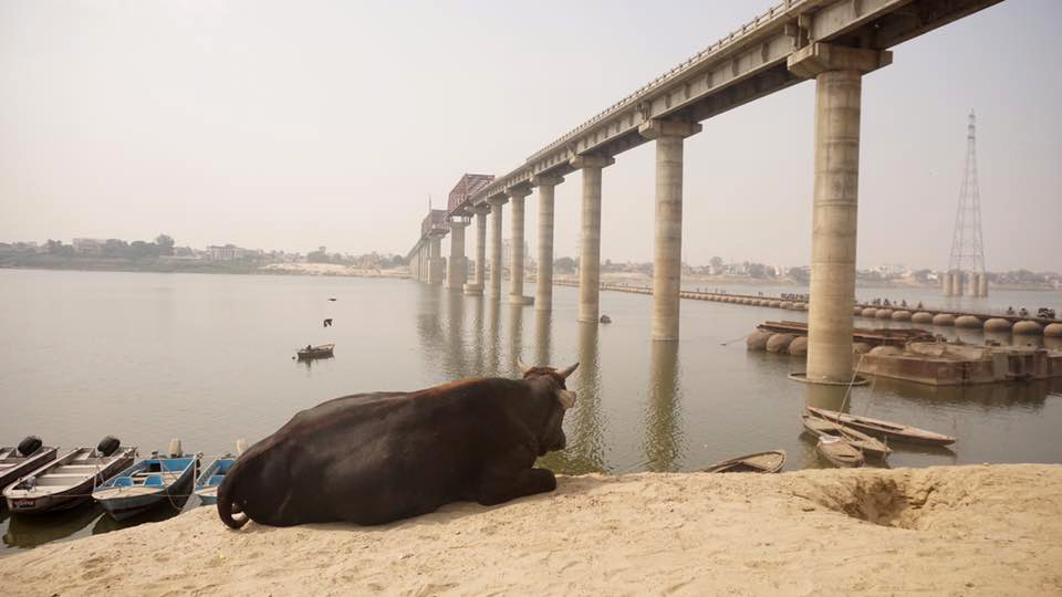 Cow at Bridge*
